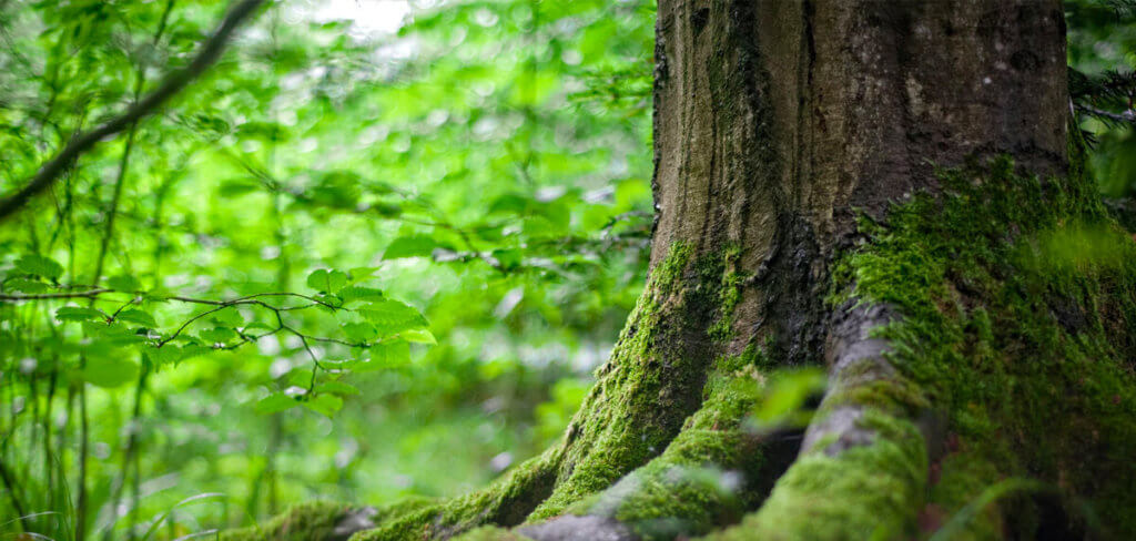 Mossy tree in a forest
